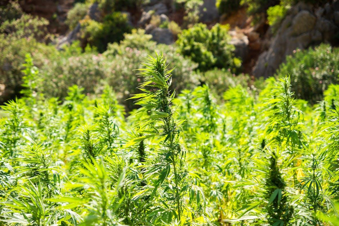 Risikodiversifikation im Cannabis-Markt