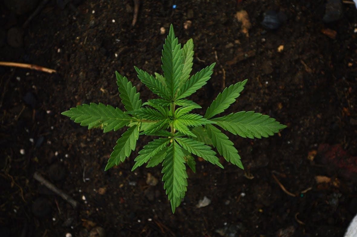 Kurseinbrüche der Cannabisindustrie – Einstiegschance oder Fluchtursache